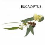 Eucalyptus globulus etherische olie