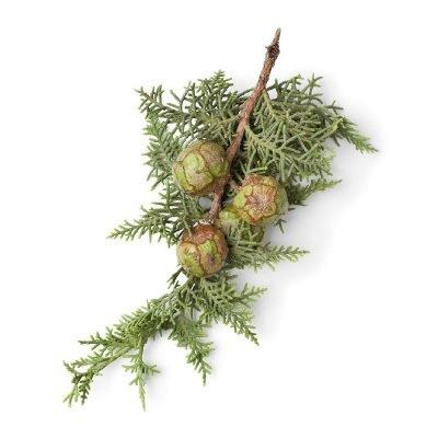 Cipres- Cupressus sempervirens