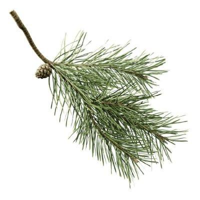Schotse Den - Pinus sylvestris