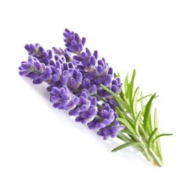 Lavendel - Lavandula augustifolia