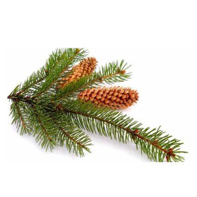Zwarte spar - Picea mariana