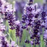 Lavendel biologische etherische olie