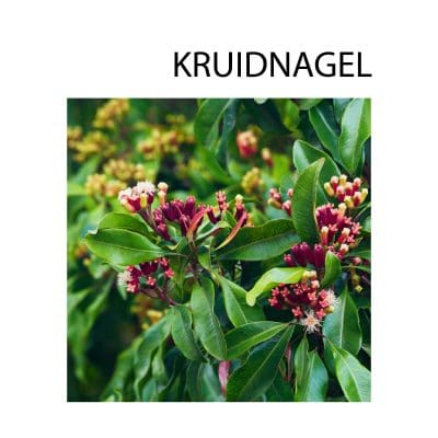 kruidnagel plant