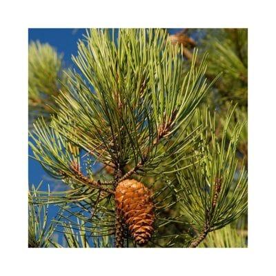 Terpetijn - Pinus pinaster