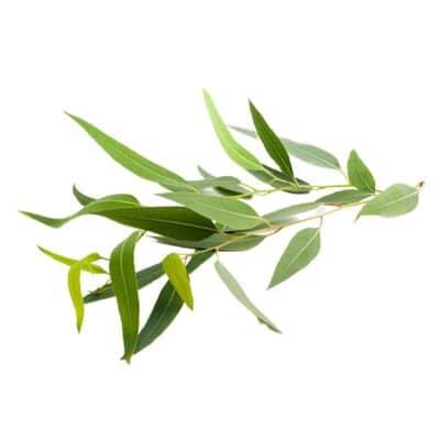 citroen eucalyptus blad