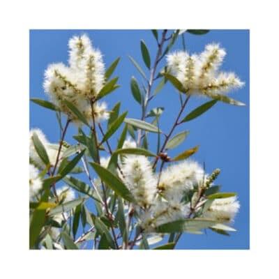 Niaouli takken en bloemen